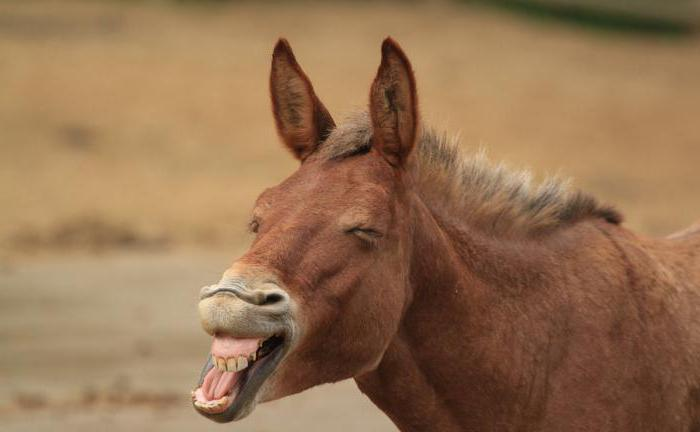 Vruće uska magarca