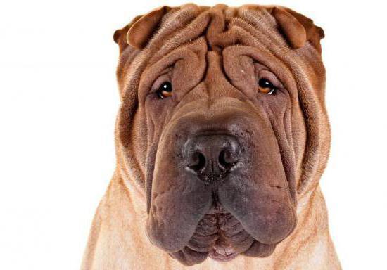 27++ Gambar anjing bulldog marah terupdate