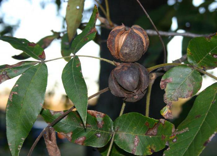 Pokok Hickory Ciri Ciri Dan Sifat Sifat Ia Kelihatan Seperti